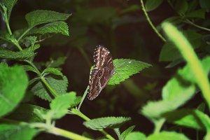 Monarca Butterfly