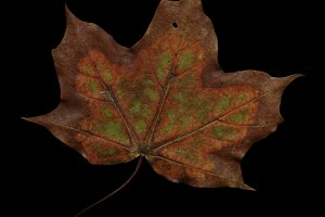 Maple leaf/LARGE