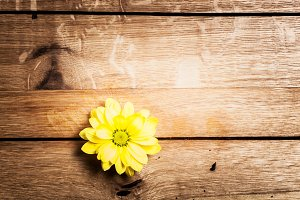 Yellow daisy flower on rustic wood.