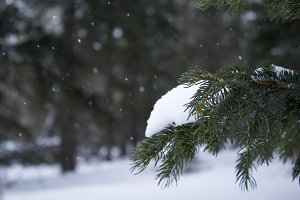 Snowfall on Spruce Trees