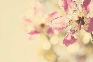 Silk Floss Tree Flower