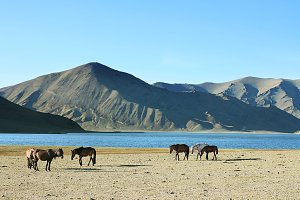 Herd of horses. Mongolia
