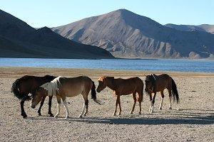 Herd of horses & Mongolian landscape