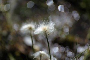 Mountain White Flower