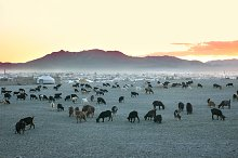 Herd of goats at sunset. Mongolia
