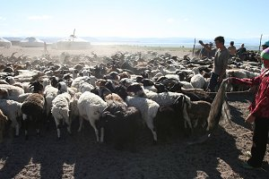 Herd of goats. Mongolia