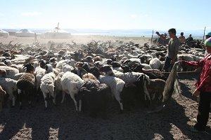 Herd of goats. Mongolia