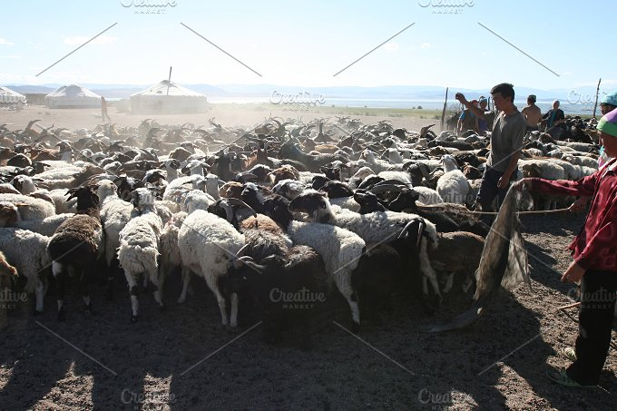 Herd of goats. Mongolia - Animals