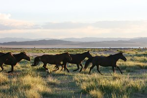 Running wild horses at sunset