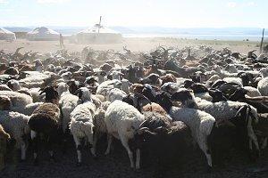 Herd of goats. Mongolian life