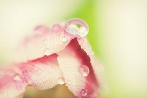 Dew on a tulip