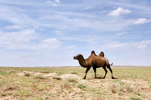 Camel in the Gobi desert