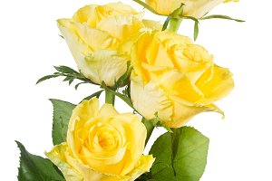 yellow roses isolated