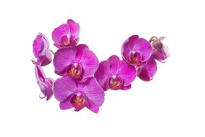 Grup of small orchids phalaenopsis