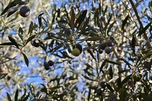 Olive Tree set