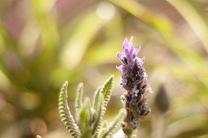 Lavander flower