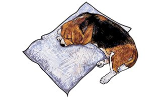 Sleeping beagle
