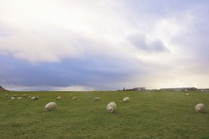 Icelandic Sheep Grazing