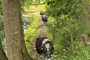 Cows walking on riverside path
