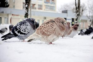 Beautiful pigeon in winter