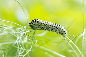 Caterpillar on fennel leaves