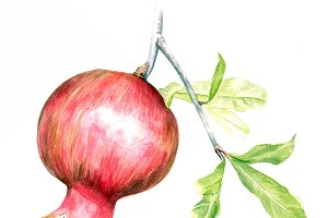 watercolour pomegranate
