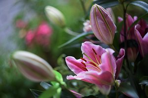 macro soft focus bouquet pink lily