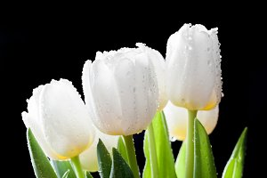 White tulips on black background.