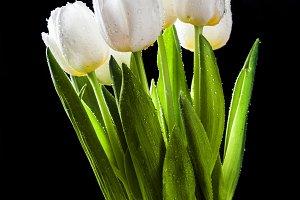 White tulips on black background.