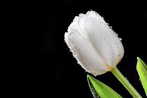 Tulip flower on black backgroud.