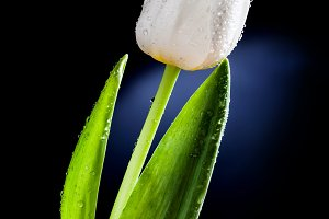 Fresh white tulip with water drops.