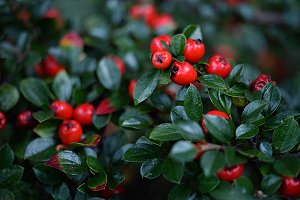 Leaves of a holly tree