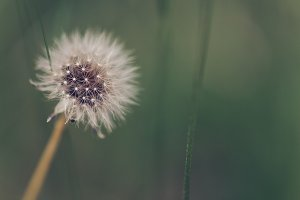 background with dandelion