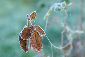 Frozen brown leaves detail