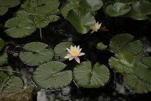 water lily in the lake