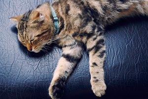 sleeping american short hair cat
