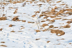 Camouflaged snowy owl