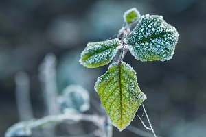 Frozen green leaves detail