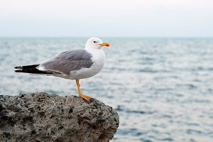 Seagull on sea background