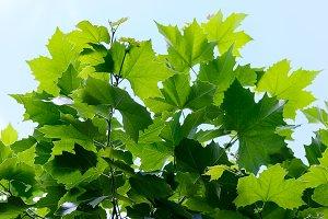 green leaf maple on sky