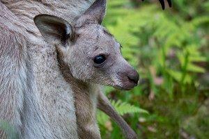 Kangaroo & Joey 1