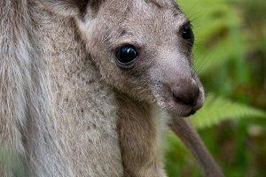Kangaroo & Joey 2