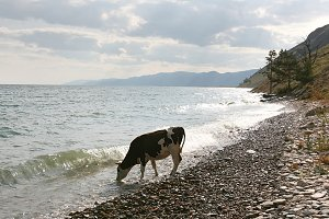Cow on the Baikal lake coast