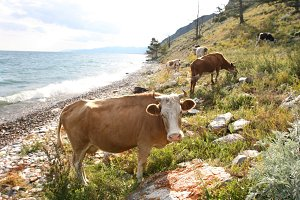 Cows near the Baikal lake