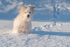 Cute white dog playing in snow