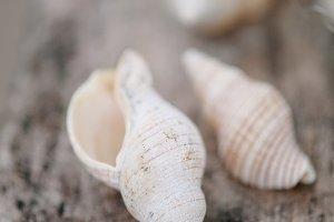 Delicate horn shell