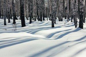 Sunlight between the trees in winter