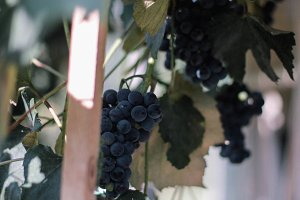 grape in the garden