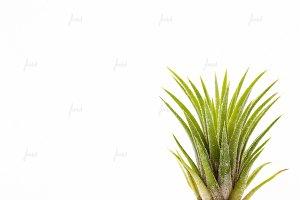 Tillandsia Ionantha air plant  ♥