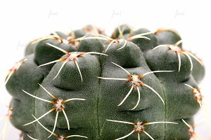 Cacti studio macro shot on white  ♥